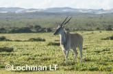 Tragelaphus oryx - Common Eland LLP-271 ©Jiri Lochman - Lochman LT