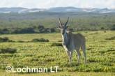 Tragelaphus oryx - Common Eland LLP-272 ©Jiri Lochman - Lochman LT