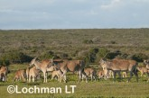 Tragelaphus oryx - Common Eland LLP-273 ©Jiri Lochman - Lochman LT