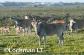 Tragelaphus oryx - Common Eland LLP-274 ©Jiri Lochman - Lochman LT