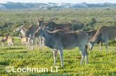 Tragelaphus oryx - Common Eland LLP-275 ©Jiri Lochman - Lochman LT