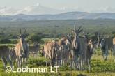 Tragelaphus oryx - Common Eland LLP-276 ©Jiri Lochman - Lochman LT