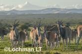 Tragelaphus oryx - Common Eland LLP-277 ©Jiri Lochman - Lochman LT