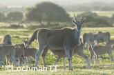 Tragelaphus oryx - Common Eland LLP-278 ©Jiri Lochman - Lochman LT