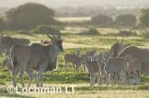 Tragelaphus oryx - Common Eland LLP-279 ©Jiri Lochman - Lochman LT