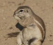 Xerus inauris Cape Ground Squirrel LLN-000 ©Jiri Lochman- Lochman LT