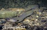 Anguilla australis Short Finned Eel GSY-382 ©Gunther Schmida- Lochman LT.