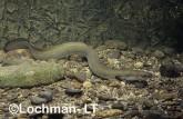 Anguillidae Anguilla australis Short-finned Eel GWY-311 ©Gunther Schmida - Lochman LT