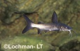 Arius berneyi Berney's Catfish GSY-385 ©Gunther Schmida- Lochman LT.