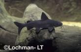 Arius graeffei Lessser Salmon Catfish GSY-384 ©Gunther Schmida- Lochman LT.
