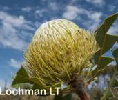 Banksia baxteri AFE-441 ©Marie Lochman - Lochman LT