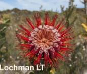 Banksia coccinea AFE-448 ©Marie Lochman - Lochman LT