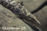 Butis butis Cromson-tipped Gudgeon GSY-408 ©Gunther Schmida- Lochman LT.