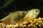 Characidae Hemigrammus caudovittatus Buenos Aires Tetra XSY-062 ©Jiri Lochman - Lochman LT