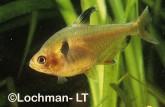 Characidae Hyphessobrycon callistus Blood Tetra XSY-060 ©Jiri Lochman - Lochman LT