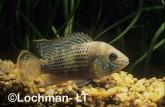 Cichlidae Aeguidens portalegrensis Green Cichlid XSY-053 ©Jiri Lochman - Lochman LT