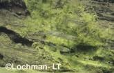 Craterocephalus dalhousiensis Hardyheads GSY-319 ©Gunther Schmida- Lochman LT.