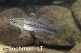 Gobiomorphus australis Striped Gudgeon GSY-410 ©Gunther Schmida- Lochman LT.