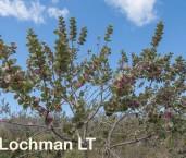 Hakea cucullata - Hood-leaved Hakea  AFE-465 ©Marie Lochman - Lochman LT