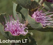 Hakea cucullata - Hood-leaved Hakea LLP-296 ©Jiri Lochman - Lochman LT