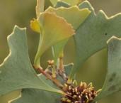 Hakea flabelifolia - Fan-leaved Hakea LLP-300 ©Jiri Lochman - Lochman LT