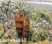 Hakea victoria Royal Hakea LLO-446 ©Jiri Lochman - Lochman LT