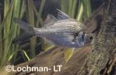 Parambassis gulliveri Giant Glassfish GSY-381 ©Gunther Schmida- Lochman LT.