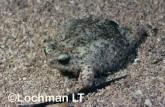 Arenophryne rotunda - Sandhill Frog LLY-167 ©Jiri Lochman - Lochman LT