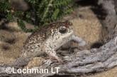 Arenophryne rotunda - Sandhill Frog ZLY-837 ©Jiri Lochman - Lochman LT