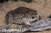 Arenophryne rotunda - Sandhill Frog ZLY-849 ©Jiri Lochman - Lochman LT