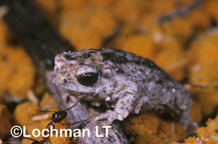 Sandhill Frog