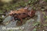 Assa darlingstoni - Marsupial Frog HFY-609 ©Hans & Judy Beste - Lochman LT