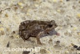 Crinia deserticola - Desert Froglet HDY-886 ©Hans & Judy Beste - Lochman LT