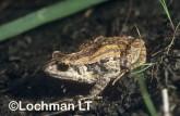 Crinia georgiana - Quacking Froglet  RFY-533 ©Jiri Lochman - Lochman LT