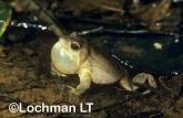 Crinia georgiana - Quacking Froglet  XXY-028 ©Jiri Lochman - Lochman LT