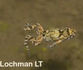 Crinia pseudinsignifera - Granite Froglet LLF-395 ©Jiri Lochman - Lochman LT