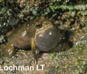 Crinia signifera - Clicking Froglet PDY-547 ©Jiri Lochman - Lochman LT