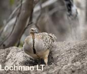 Mallee Fowl Leipoa ocellata LLP-462 ©Jiri Lochman - Lochman LT