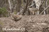 Mallee Fowl Leipoa ocellata pair at nest LLP-478 ©Jiri Lochman - Lochman LT