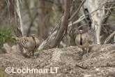 Mallee Fowl Leipoa ocellata pair at nest LLP-481 ©Jiri Lochman - Lochman LT