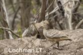 Mallee Fowl Leipoa ocellata pair at nest LLP-482 ©Jiri Lochman - Lochman LT