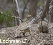 Mallee Fowl Leipoa ocellata pair at nest LLP-483 ©Jiri Lochman - Lochman LT