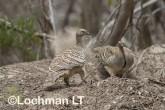 Mallee Fowl Leipoa ocellata pair at nest LLP-484 ©Jiri Lochman - Lochman LT