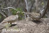 Mallee Fowl Leipoa ocellata pair at nest LLP-485 ©Jiri Lochman - Lochman LT