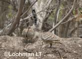 Mallee Fowl Leipoa ocellata pair at nest LLP-487 ©Jiri Lochman - Lochman LT