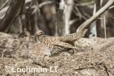 Mallee Fowl Leipoa ocellata pair at nest LLP-489 ©Jiri Lochman - Lochman LT