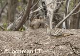Mallee Fowl Leipoa ocellata pair at nest LLP-490 ©Jiri Lochman - Lochman LT