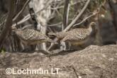 Mallee Fowl Leipoa ocellata pair at nest LLP-491 ©Jiri Lochman - Lochman LT