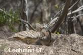 Mallee Fowl Leipoa ocellata pair at nest LLP-492 ©Jiri Lochman - Lochman LT