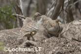Mallee Fowl Leipoa ocellata pair at nest LLP-493 ©Jiri Lochman - Lochman LT